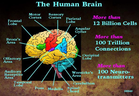 Human Brains Human Brain Jpg