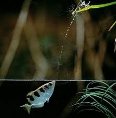 Archerfish – God's Sharpshooters