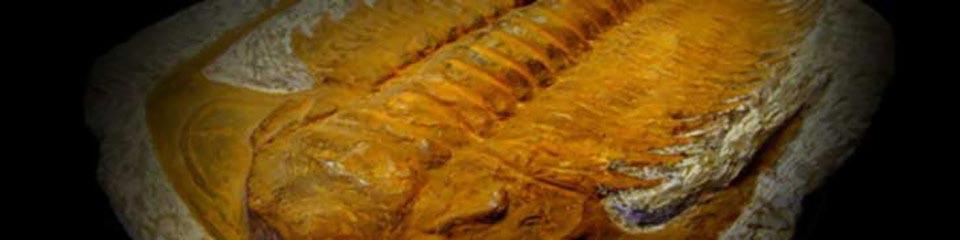 Fossil – Trilobyte »