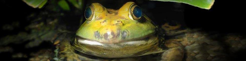 Closeup – Frog »