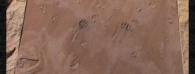 Fossil Trackways!