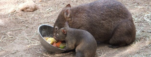 The Wombat – a Backwards Creature!!…But Evidence of a Designer!!